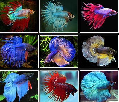 The siamese fighting fish for Betta fish natural environment