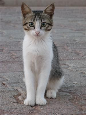 Aegean Cats For Sale