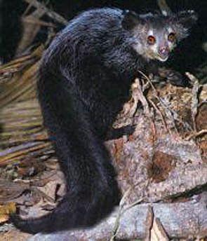 The Aye Aye Is A Strange Primate Native To Madagascar